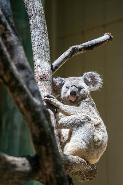 Queensland, Daisy Hill - Koala 6