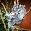 Queensland, Lone Pine - Mother koala with baby on back slapping another koala