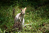 Queensland, Daisy Hill - Wallaby