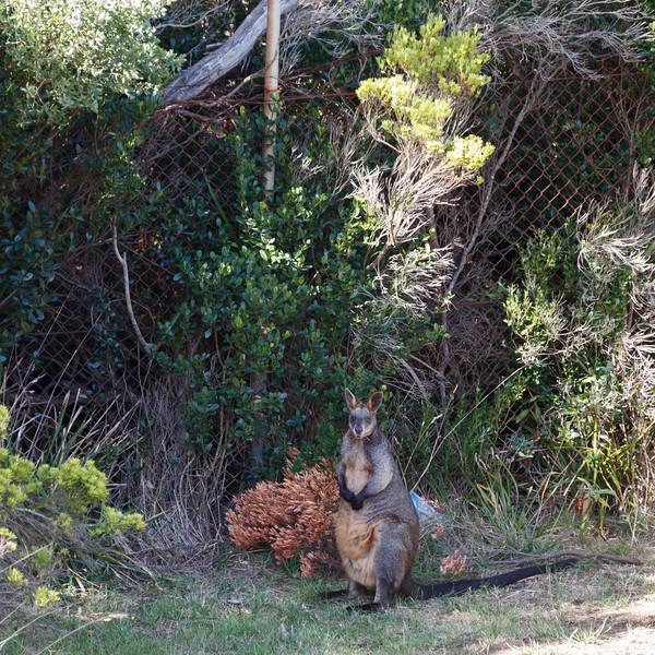 Victoria, Great Ocean Road - Wild wallaby