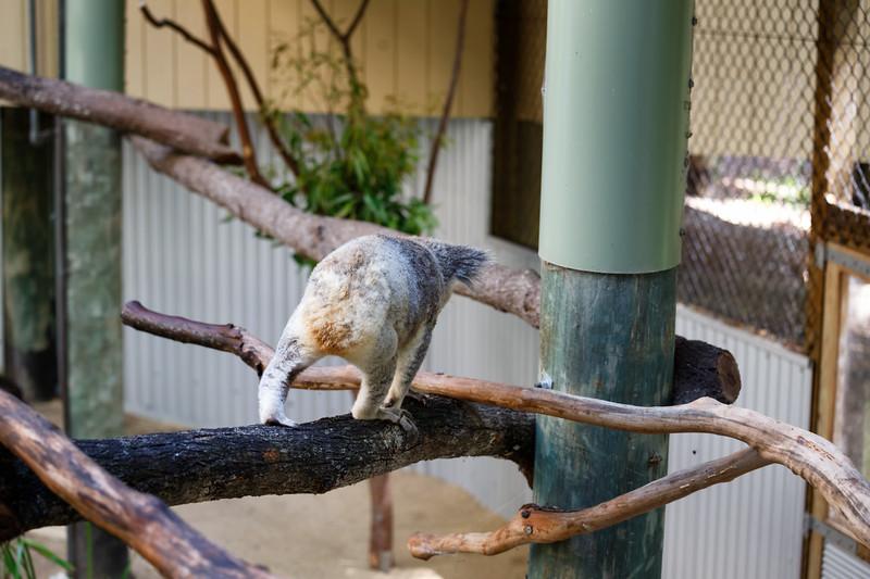Queensland, Daisy Hill - Koala 4