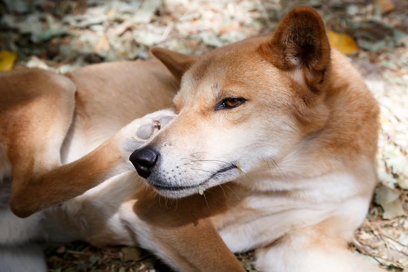 Queensland, Lone Pine - Dingo scratching