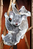 Queensland, Lone Pine - Large baby koala on back of mother