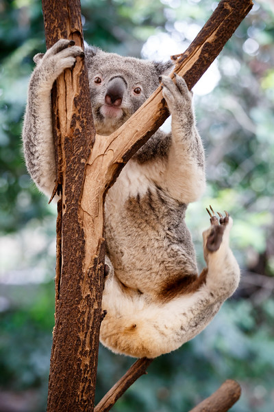 Queensland, Lone Pine - Koala hanging by arms