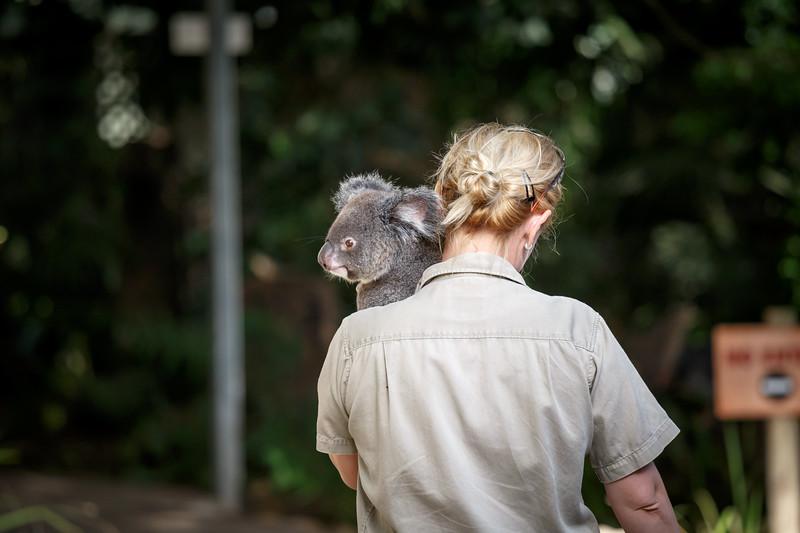 Queensland, Lone Pine - Koala being carried by keeper