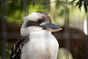 Queensland, Lone Pine - Kookaburra