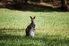 Queensland, Daisy Hill - Wallaby on grass