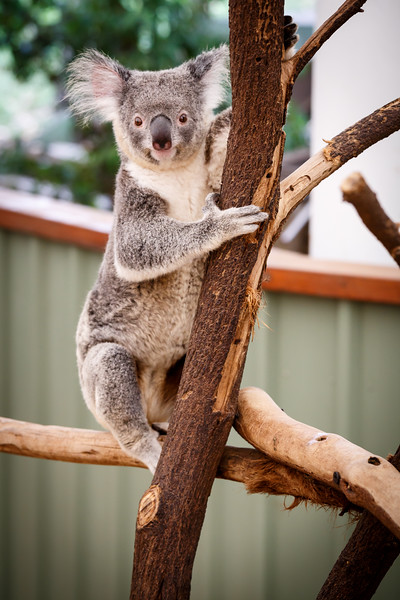 Queensland, Lone Pine - Koala with a startled look