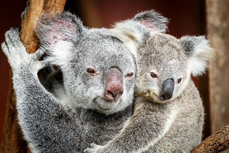 Queensland, Lone Pine - Mom and baby koala