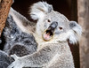 Queensland, Lone Pine - Baby koala opening mouth