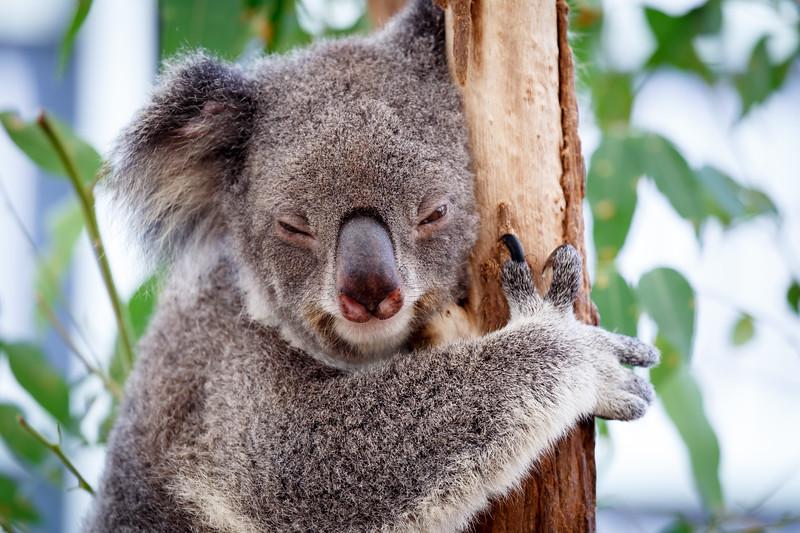 Queensland, Lone Pine - Koala sleeping with one eye open