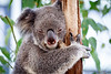 Queensland, Lone Pine - Koala sleeping with one eye open