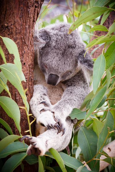 Queensland, Lone Pine - Koala sleeping in a hammock of leaves