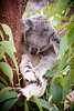 Queensland, Lone Pine - Koala sleeping in a hammock of leaves