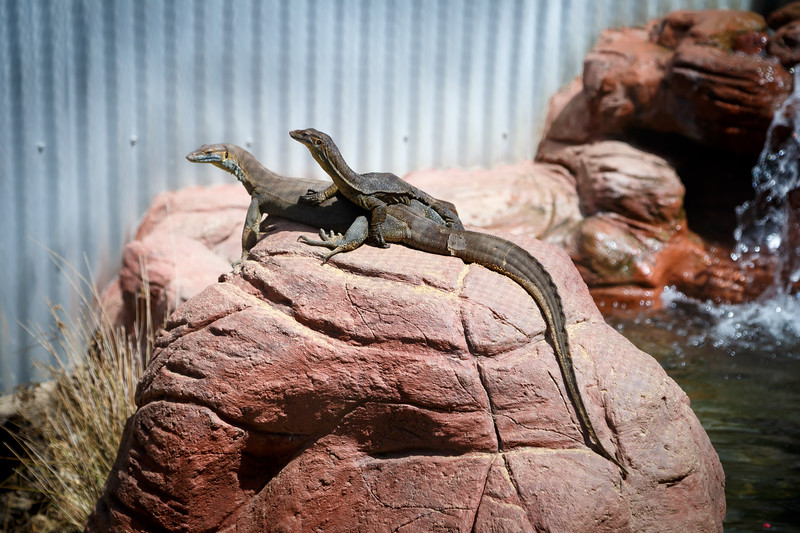 Queensland, Lone Pine - Two lizards