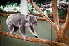 Queensland, Lone Pine - Koala walking on branch