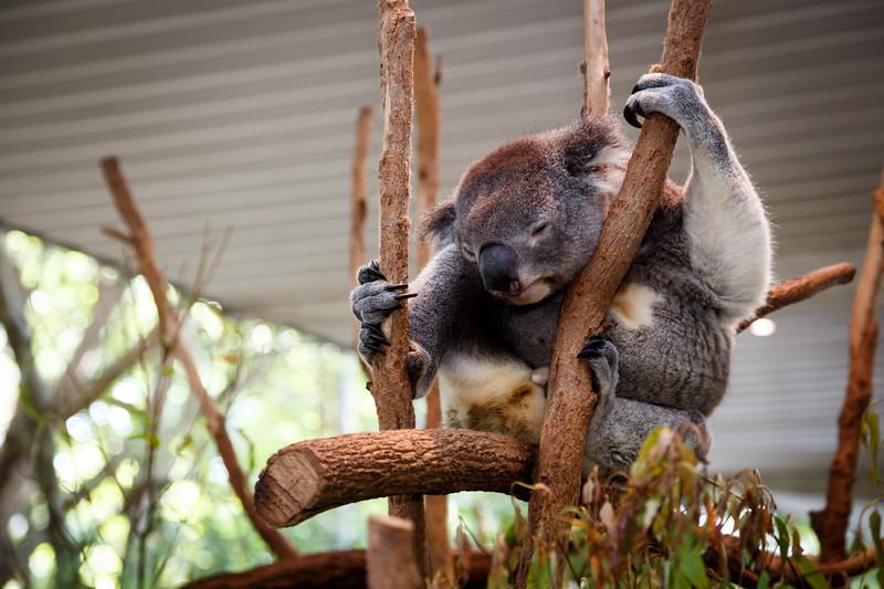Queensland, Lone Pine - Fat koala in a tree