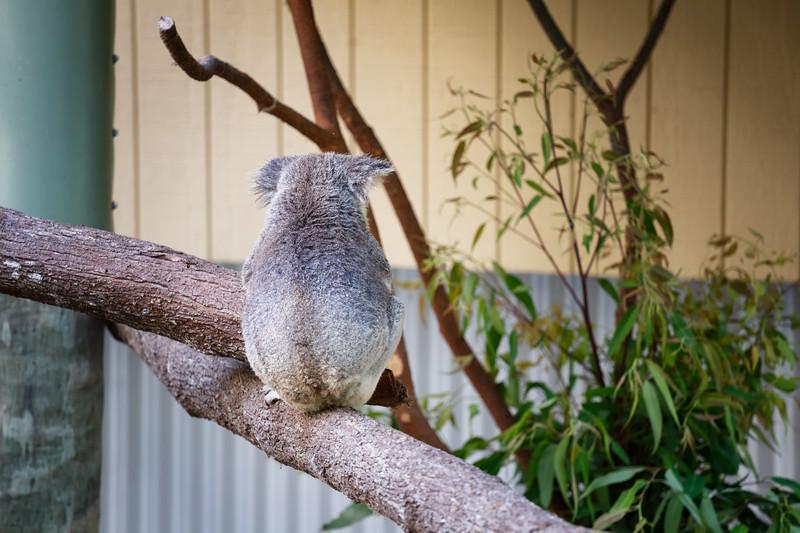 Queensland, Daisy Hill - Koala 5