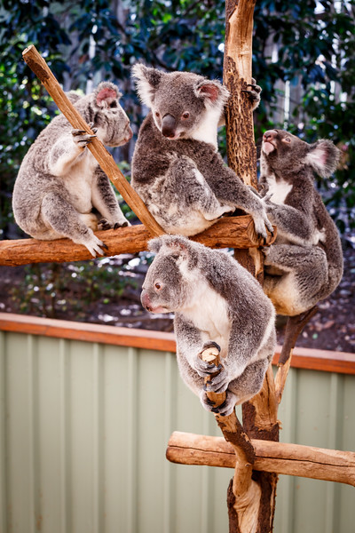 Queensland, Lone Pine - Four koalas in a tree