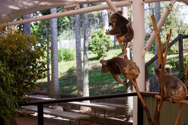Queensland, Lone Pine - Koalas grabbing for leaves