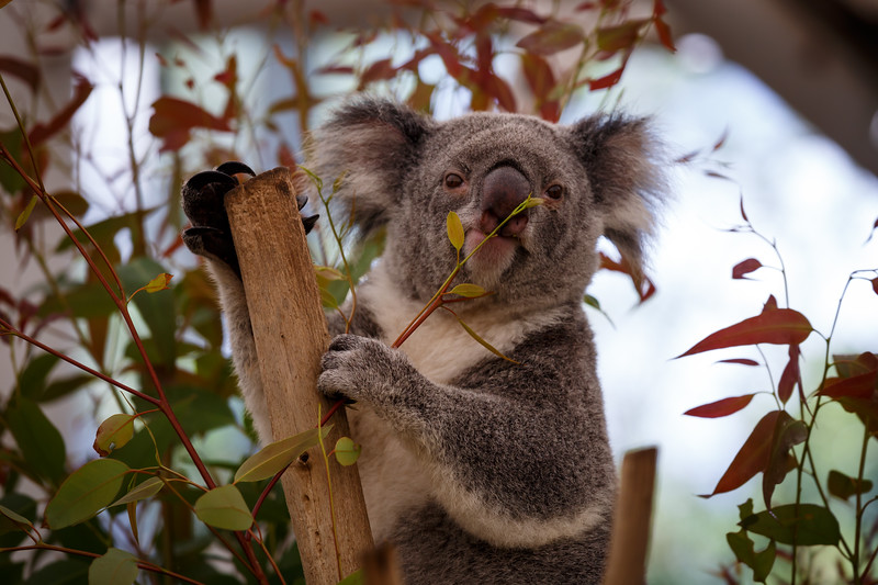 Queensland, Lone Pine - Koala eating a snack