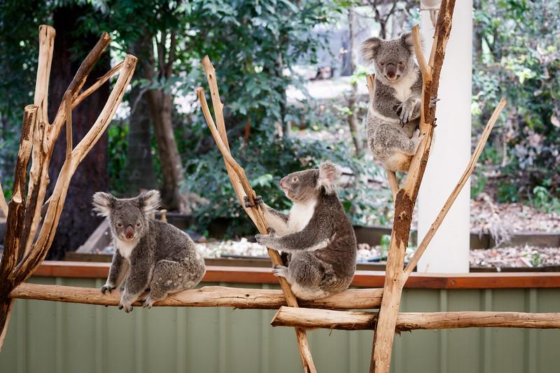 Queensland, Lone Pine - Three koalas