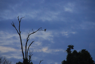 Hornbills in a Tree at Sunset
