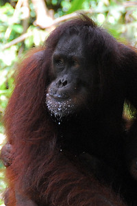 Orangutan at Sepilok Rehabilitation Center