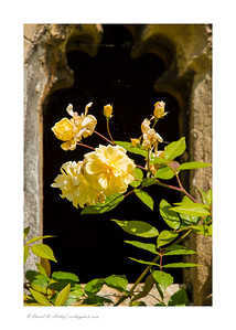 Rose, The Bishop's Palace, Wells, England