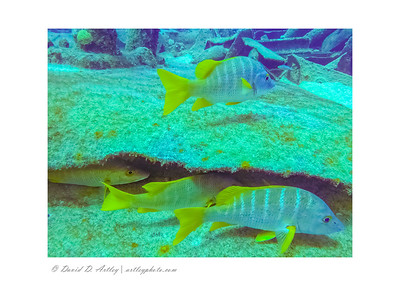 Schoolmaster Snappers, wreck of the Oro Verde, West End, Grand Cayman Island