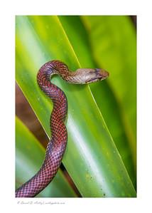 The endemic Cayman Racer snake, Queen Elizabeth II Botanic Park, Grand Cayman Island