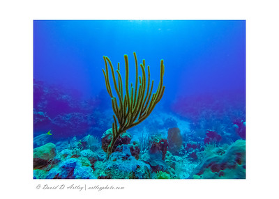 Sea Rod Gorgonian Coral, East End, Grand Cayman Island