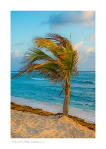 Palm tree on Palm Sunday, East End, Grand Cayman Island