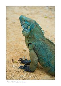 The endangered native  Blue Iguana, Queen Elizabeth II Botanic Park, Grand Cayman Island