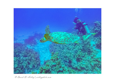 Hawksbill Turtle and Divers, West End, Grand Cayman Island