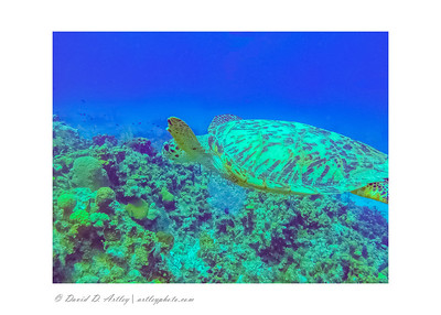 Hawksbill Turtle, West End, Grand Cayman Island