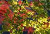 Ginko Autumn BO9E5