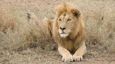 Serengeti Lion 4351