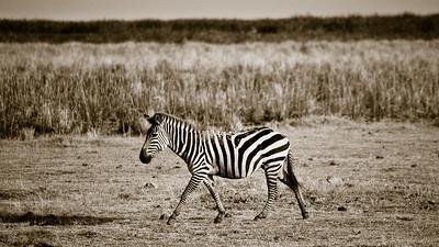 Sepia Zebra 4170bws