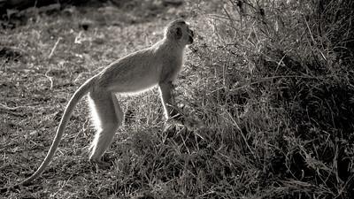 Backlit Monkey 4184bw