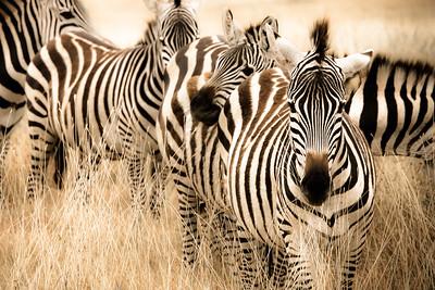 Sepia Zebras 4538cs