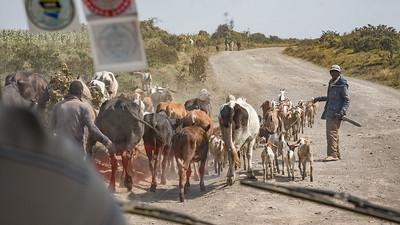 Herding 3659
