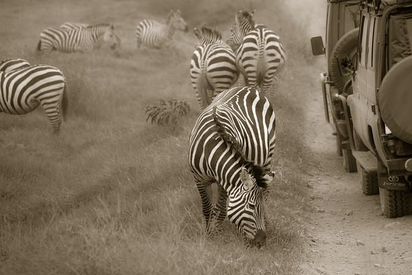 Roadside Zebras 4597bw