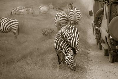 Roadside Zebras 4597bws