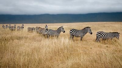 The Zebra Line 4529
