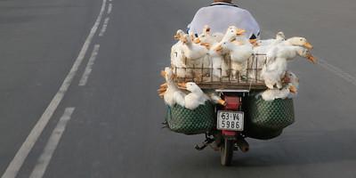 Moto Ducks 4368p