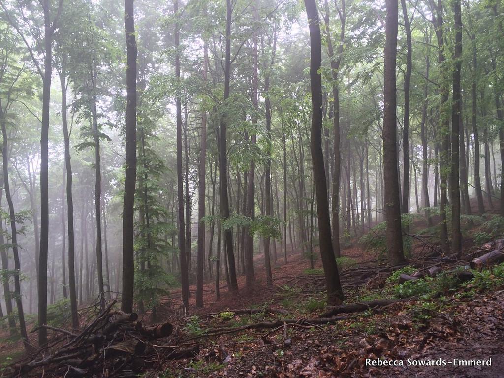 Foggy German forest.