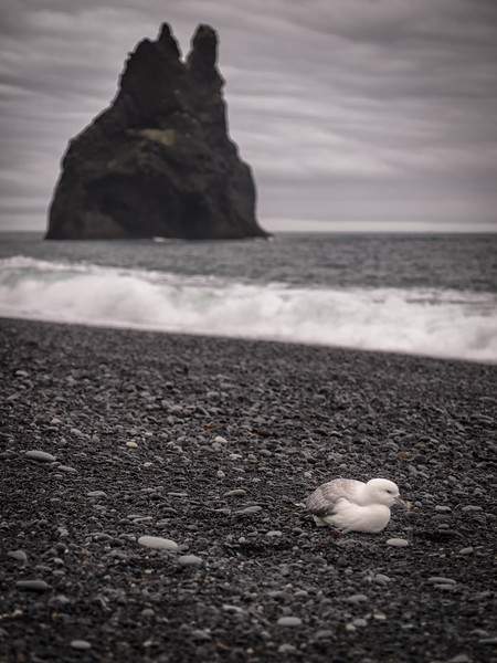 Iceland, Vik - Lone sea gull on the beach with sea stack