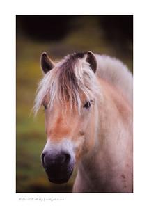 Fjord Pony, near Vik, Norway
