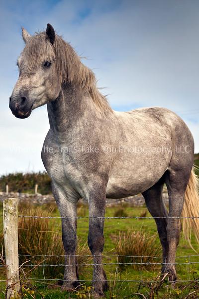 94  Connemara Pony